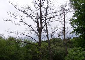Endemic Decline in Alders in the Czech Republic