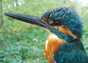 Distribution and Ecology of the Common Kingfisher in the Litovelské Pomoraví/Litovel Morava River Ba