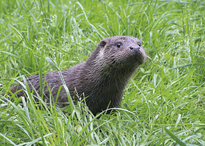 Human Perception of Eurasian Otter Damages and Efficacy of Act No. 115/2000 Gazette