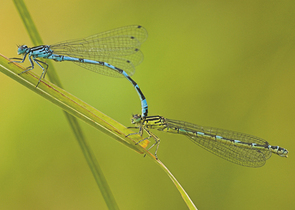 The Ornate Bluet – A Surprise from a Coal Mine Dump