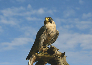 Recovery of the Peregrine – A Successful Story of Nature Conservation or a Consequence of Spontaneou