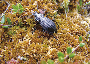The Menetries Ground Beetle – A Jewel of Peat Bogs in the Czech Republic