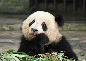 The Giant Panda – A Nature Conservation Icon in the New Millennium