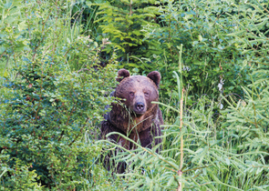 Kalaš M.: The Past and Current Brown Bear Distribution in Northwestern Slovakia