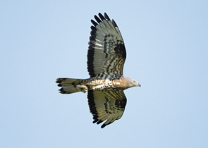 Birds of Prey in the Czech Republic: Current State and Future Outlook