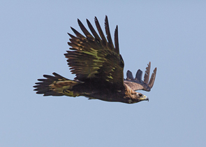 Orel P.: The Golden Eagle – a New and Old Breeding Species in the Czech Republic