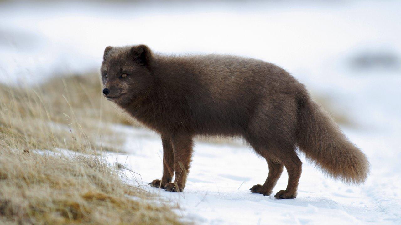 Dospělý samec lišky modré varianty. f8db8671f7